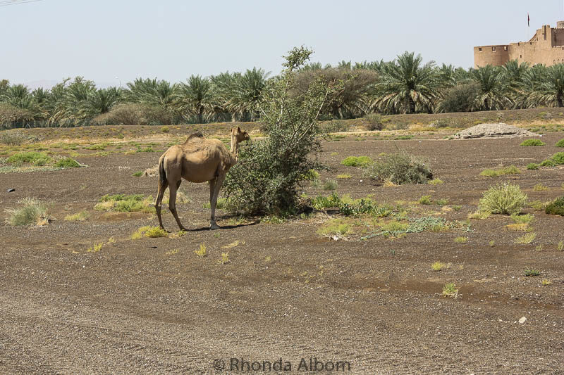Camel seen on the side of the road near Nizwa Oman