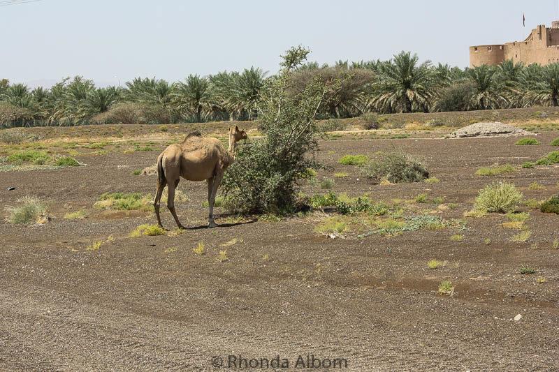 Camel seen on the side of the road near Nizwa Oman