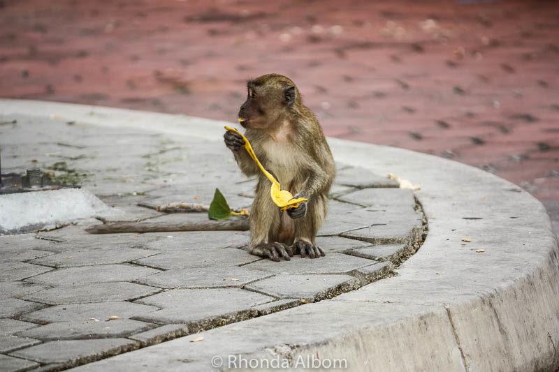 Long-tailed macaques (wild monkeys) eating a banana at Batu Caves outside Kuala Lumpur in Malaysia.