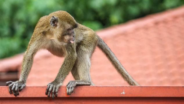 Wild Monkeys and a Hindu Temple at Batu Caves, Malaysia