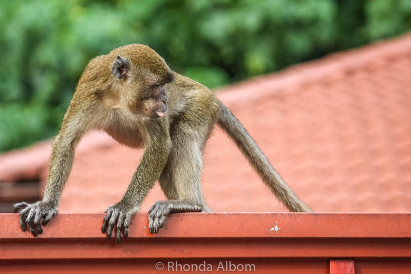 Long-tailed macaques (wild monkeys) at Batu Caves outside Kuala Lumpur in Malaysia.