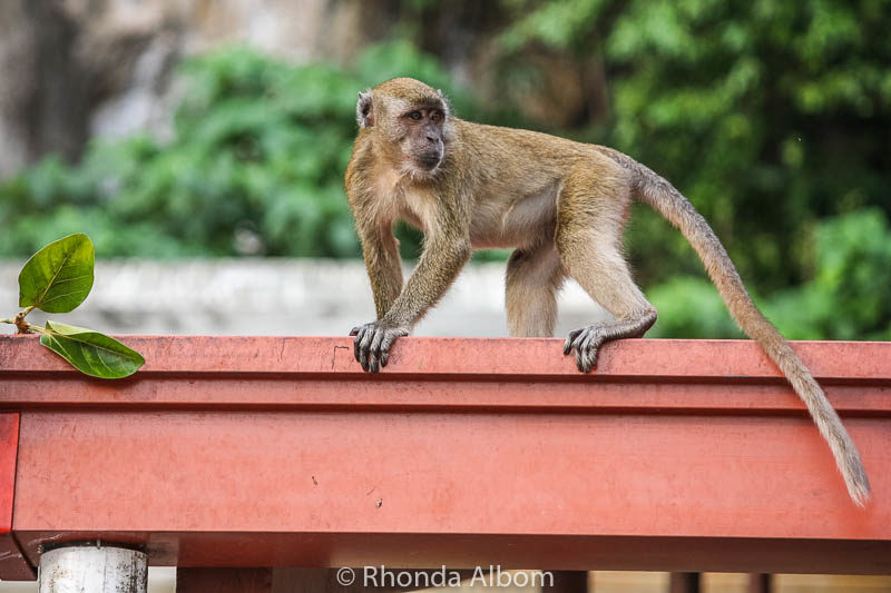 Long-tailed macaques (wild Kuala Lumpur monkeys) at Batu Caves outside Kuala Lumpur in Malaysia.