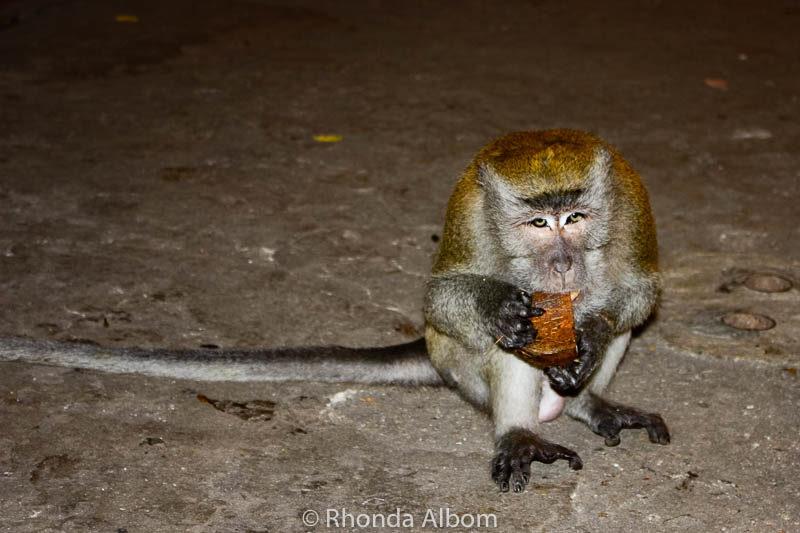 Long-tailed macaques (wild monkeys) inside Batu Caves outside Kuala Lumpur in Malaysia.