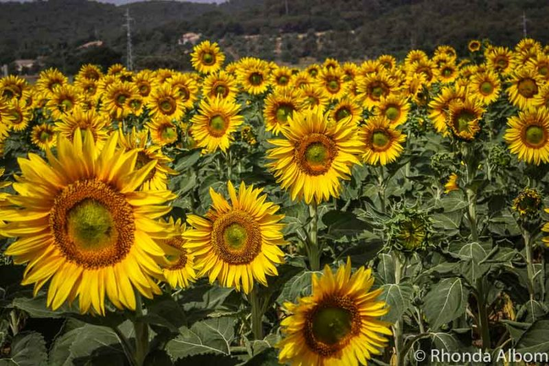Sunflowers in Pedro district of Costa Brava Spain