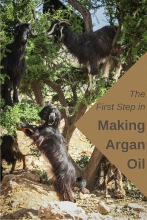 Wondering where does Moroccan argan oil come from? The first step is these Goats in trees in Morocco. Read the article for the rest of the process.