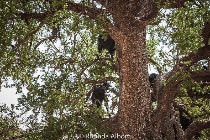 Goats in trees in Morocco.