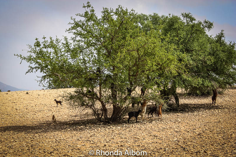 Where does argan oil come from? First step: Goats in trees in Morocco.