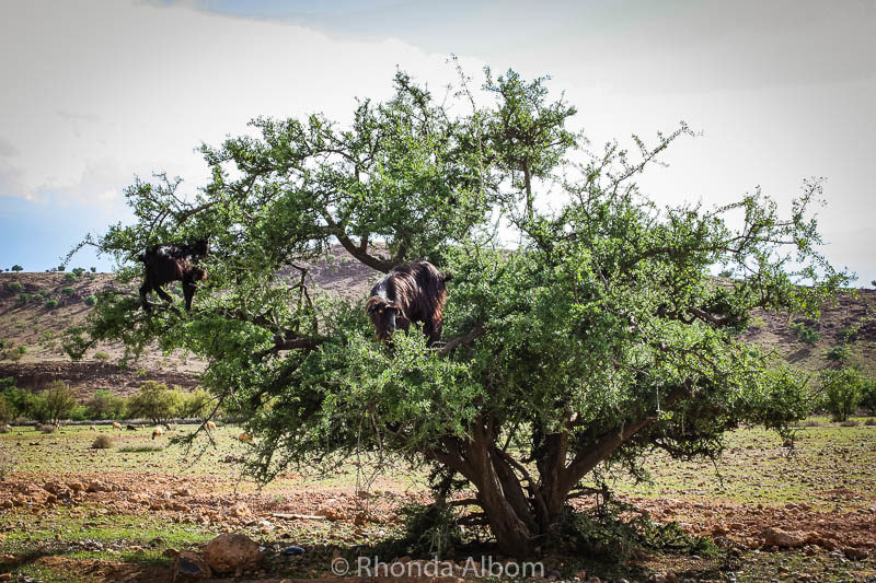 Goats in trees in Morocco