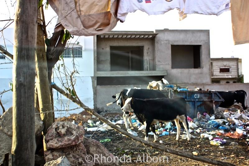 cows in casablanca