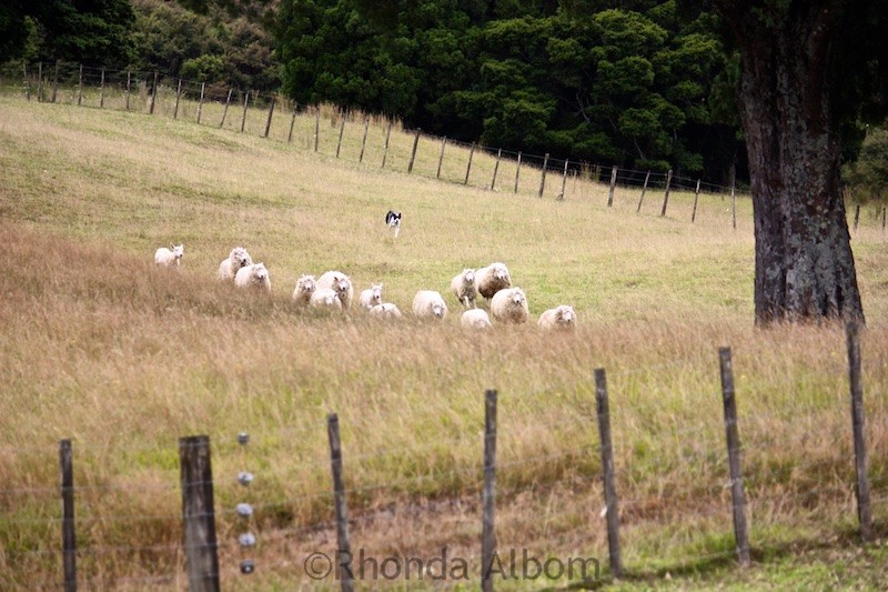 Round sheep at Sheep World in New Zealand