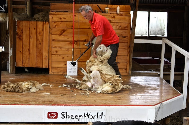 Sheer sheep at Sheep World in New Zealand