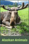 This moose was one of the animals at the Alaska Wildlife Conservation Center stop when travelling from Anchorage to Whittier in Alaska.