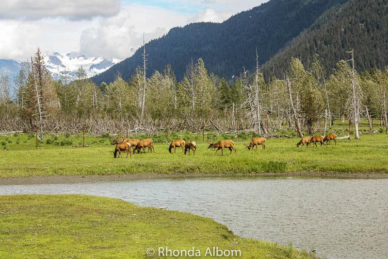 Elk Grazing at the Alaska Wildlife Conservation Center in Anchorage Alaska
