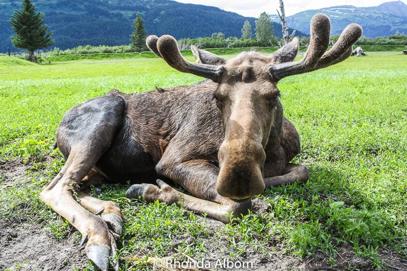 Moose at the Alaska Wildlife Conservation Center in Anchorage Alaska