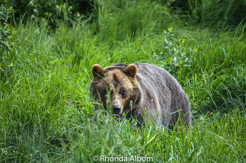 Alaska Brown Bear at the Alaska Wildlife Conservation Center in Anchorage Alaska
