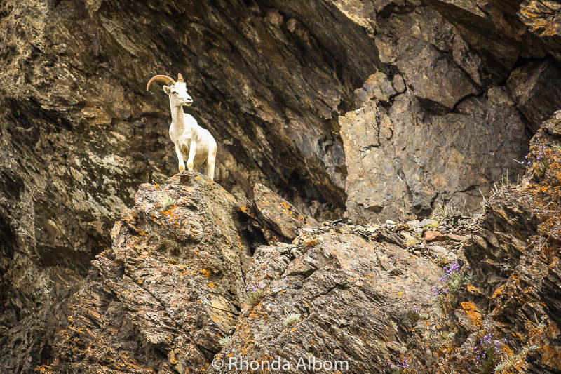Mountain goat on a rocky cliff seen on transfer from Anchorage to Whittier in Alaska