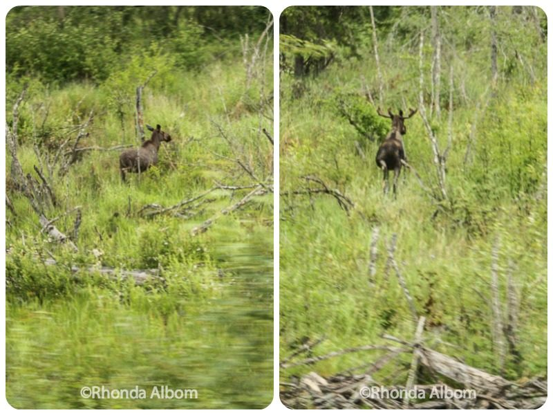 Moose and Caribou in Alaska