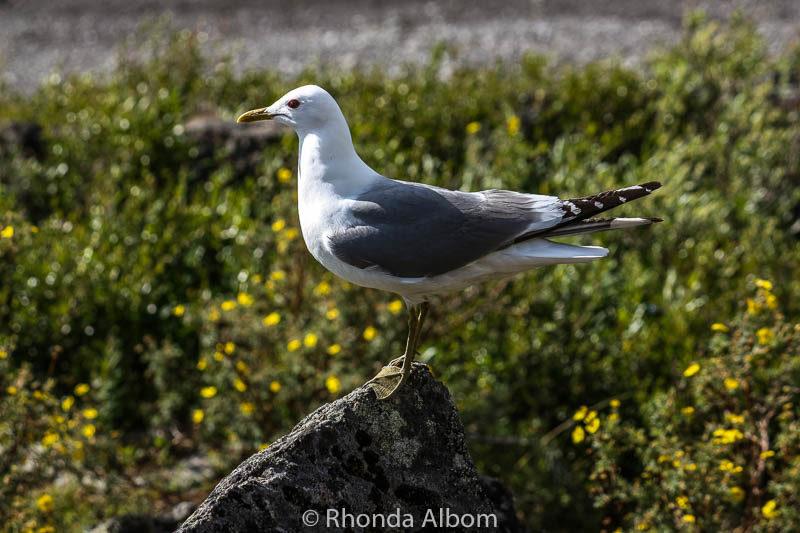 A seafaring bird in Alaska
