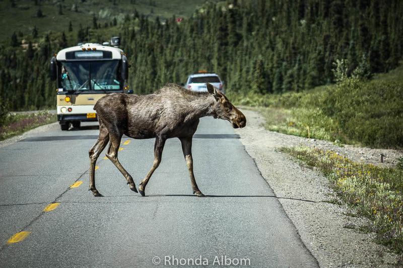 Moose crossing the road in Denali National Park, Alaska