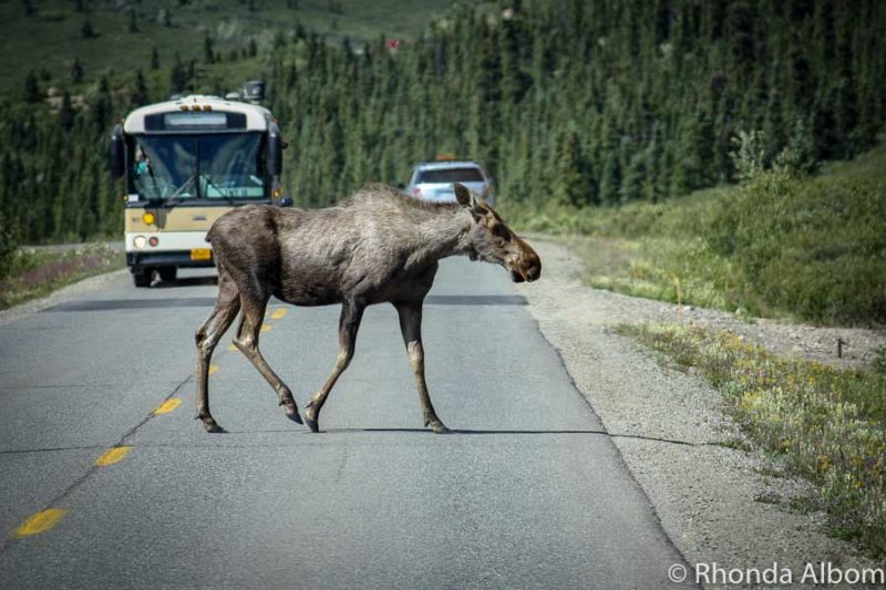 Moose crossing during our Denali bus tour inside the National Park in Alaska