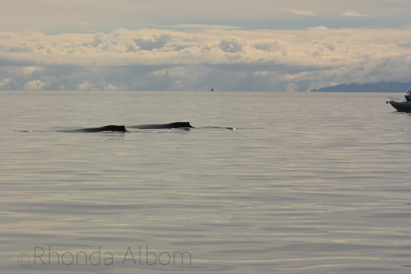 Whale watching-Alaska cruise