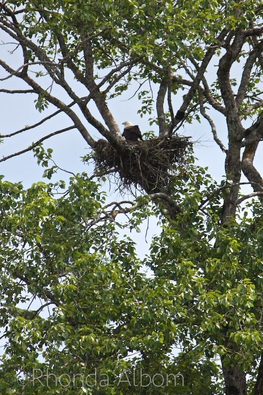 An American Bald Eagle in a nest in Hoonah, Alaska