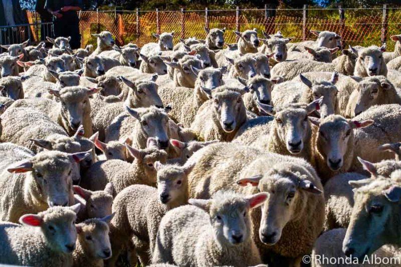 Many New Zealand sayings involve sheep.