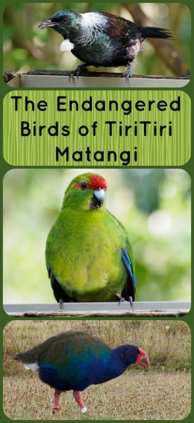 The Endangered Birds of TiriTiri Matangi - for more info on these rare birds, visit Albom Adventures