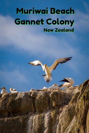 Gannet colony at Muriwai Beach on the west coast of Auckland New Zealand.