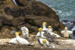 Gannet colony at Muriwai Beach Auckland New Zealand