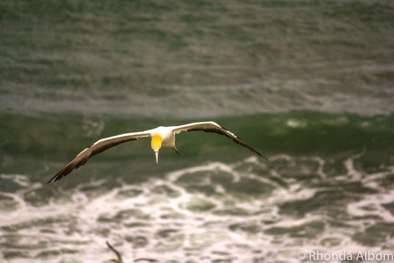 In flight gannets. Muriwai beach, Auckland New Zealand