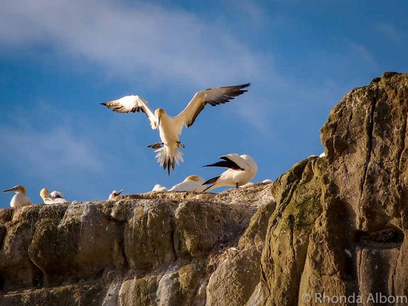 Gannet colony New Zealand