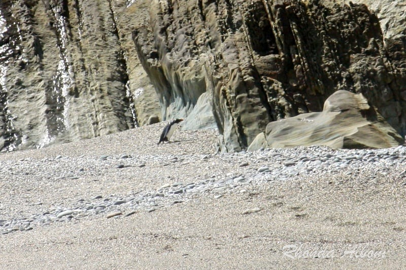 Fiordland Crested Penguin on Monroe Beach in New Zealand