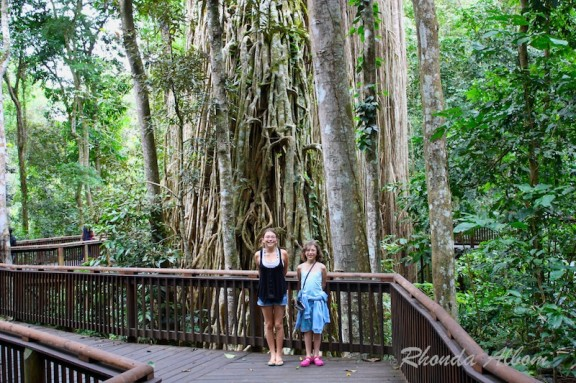 Curtain Fig Tree is one of the largest trees in Tropical North Queensland Australia