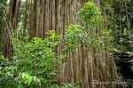 Photos: Curtain Fig Tree in Tropical Queensland, Australia