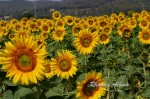 Colorful Sunflowers – Photos from Spain – In Memory of Tina