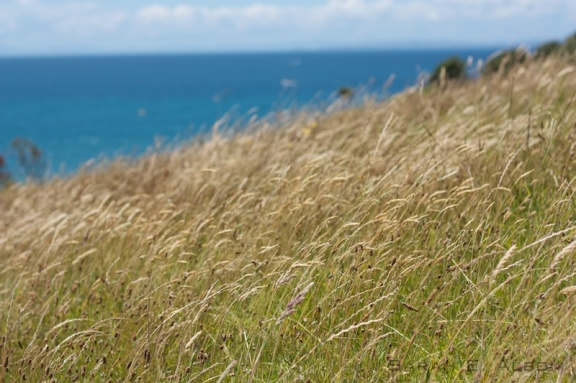 A field of long grass looking over Pink Beach at Shakespear Park in New Zealand