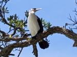 Pied Shag – Bird Watching in New Zealand