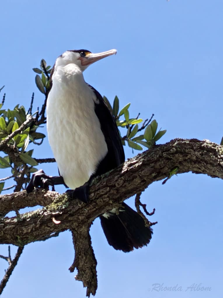 Pied Shag, identified by his long beak and black feet, in New Zealand