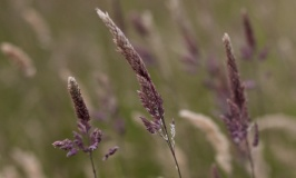 Purple long grass in Shakespear Park, New Zealand