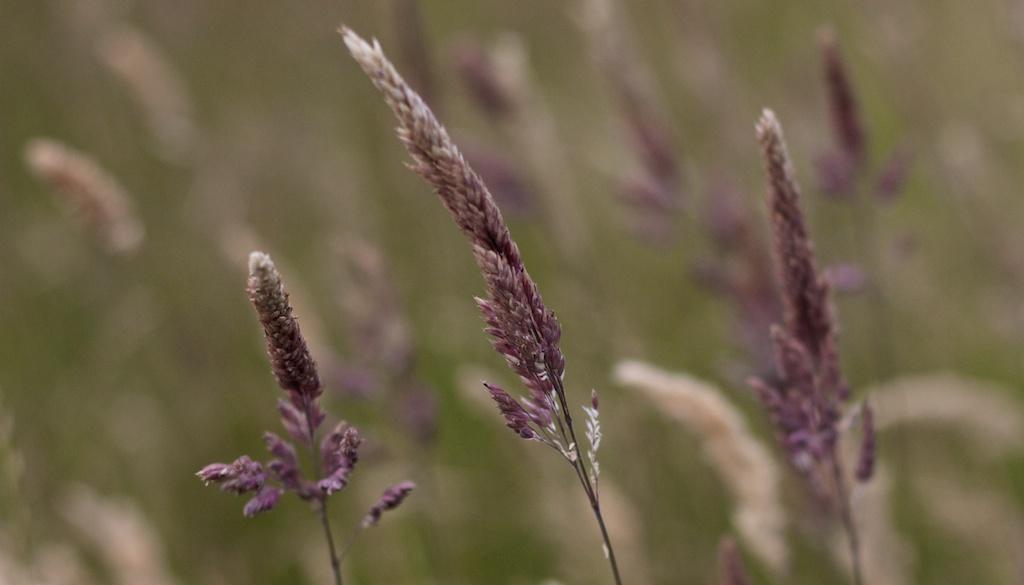 Purple long grass in Shakespear Park, New Zealand