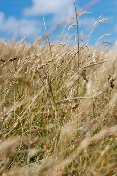 Stalks of long, golden grass in Shakespear Park