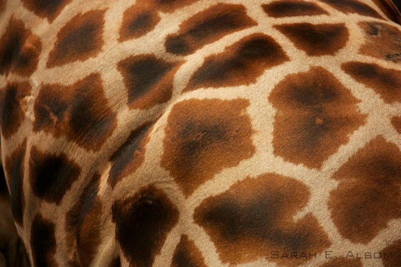 Giraffe spots at the Wellington Zoo in New Zealand. Copyright Sarah E. Albom 2014; for more photos of 2015 photo highlights, visit Albom Adventures