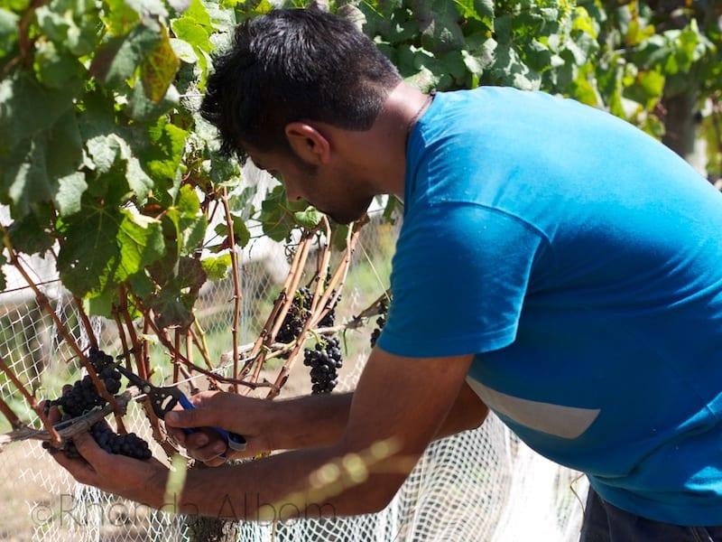 Hand Picking Grapes at Villa Maria Vineyard, Auckland New Zealand