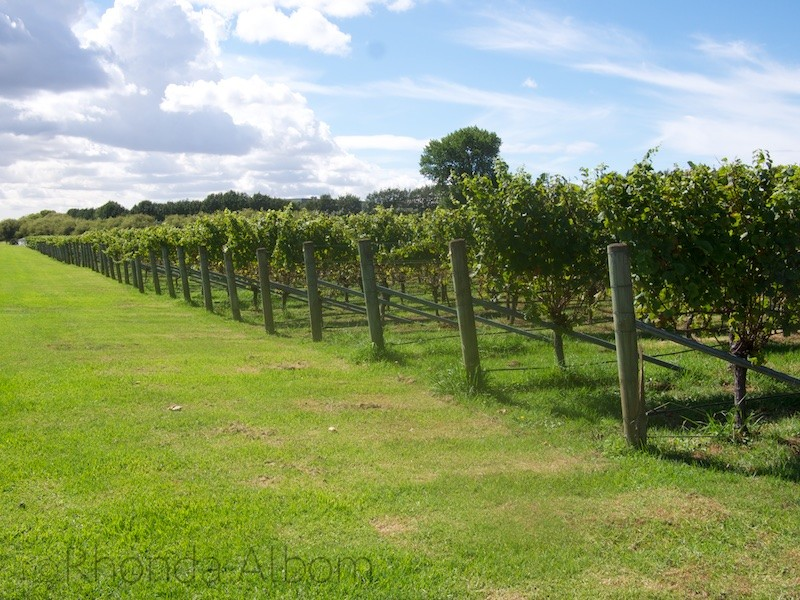 Grapes vines at Villa Maria Vineyard in Auckland