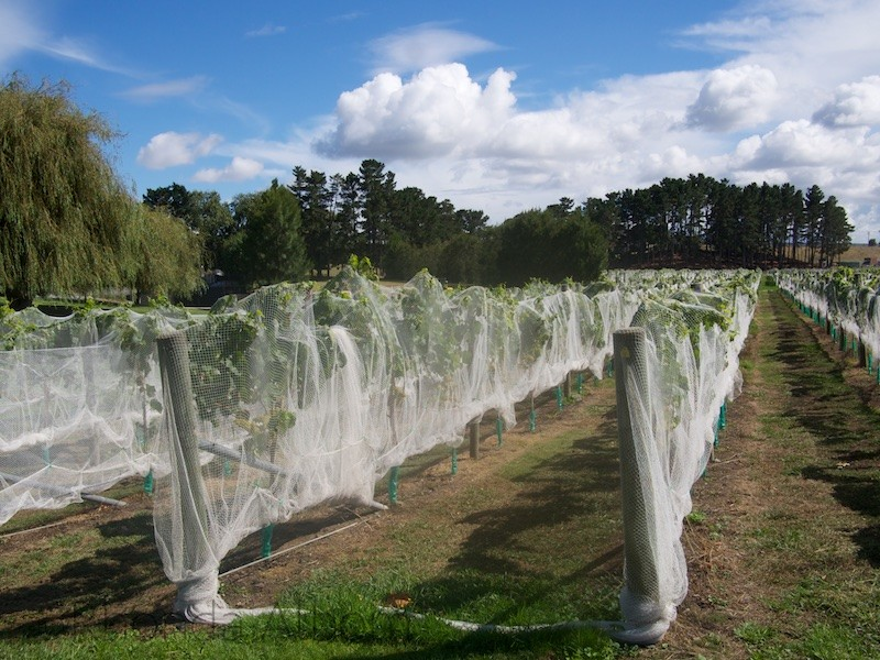 Covered grapes are protected from the birds at Villa Maria Vineyard in Auckland
