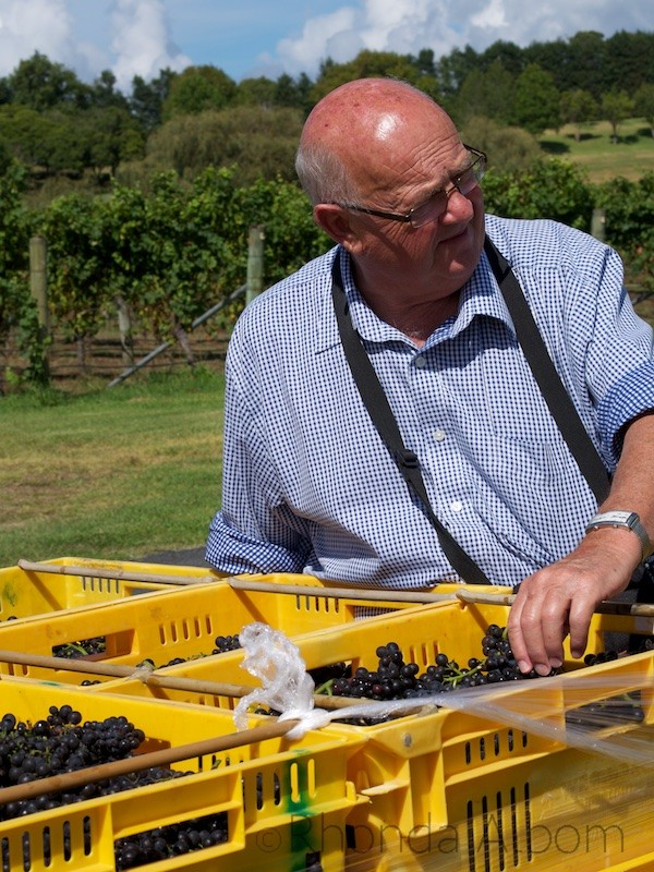 Freshly picked grapes at Villa Maria Vineyard in Auckland, New Zealand