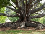 Tree in Auckland Domain (Parks in Auckland New Zealand)