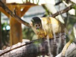 Squirrel Monkey at the Wellington Zoo, New Zealand