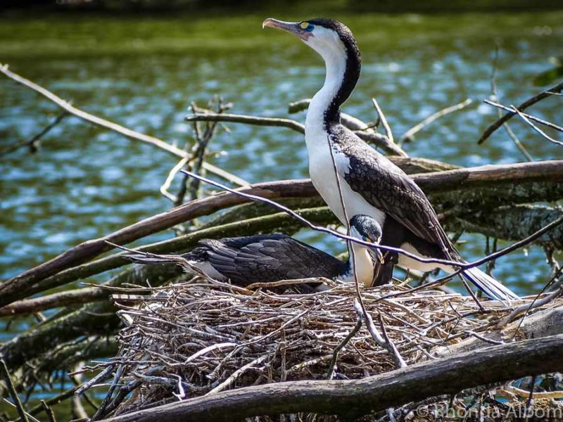 A shag in a nest at Zealandia. an Urban Sanctuary, Wellington, New Zealand